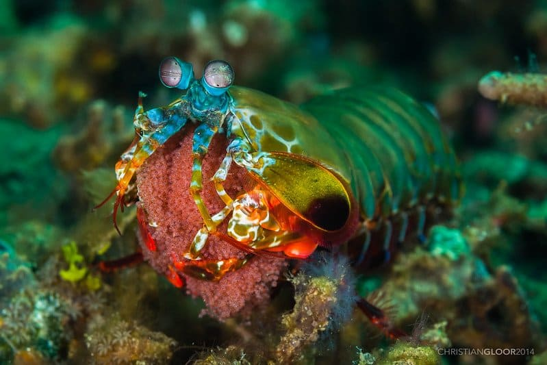 Peacock Mantis Shrimp in Dauin, The Philippines